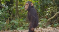Google street View permits humans to hang around with their blood-associated chimpanzees