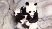 Watch the world's simplest Surviving Panda Triplets Hug It Out With Their mom