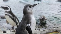 What occurs when you provide Some Penguins An iPad? Penguin Chicks