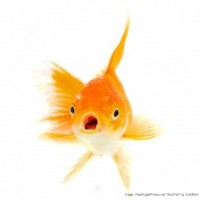 Goldfish Have a Longer Attention….Where Are You Going? Come Back!