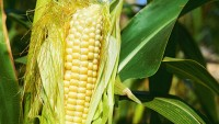 The Psychology Of Why So Many People Are Anti-GMO