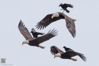 This Crow riding On The back Of A hovering Bald Eagle Will Make You Smile, Goth