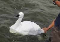 robot Swans Patrol Singapore's Reservoirs, hunting pollution