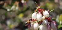 Bumblebees Have a brand new Job: delivering organic Pesticides