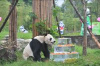 The World's Oldest Male Panda in Captivity Has Died, Aged 31