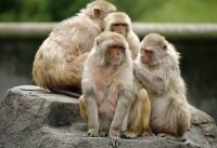 Injectable male contraceptive tested successfully on monkeys