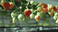 This Strawberry-Picking Robot Gently Picks The Ripest Berries With Its Robo-Hand