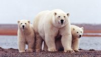 How The San Diego Zoo Is Using AI And Drones To Save Polar Bears