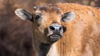 Baby Bison Are Being Flown To Siberia To Try To Save The Permafrost