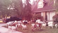 Boise goat watch! Idaho streets were covered in goats and no one knew why
