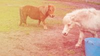 Miniature horses—the best reason ever to fly Southwest Airlines