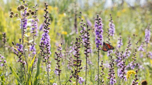Big agriculture helped destroy monarch butterfly habitats–now it's trying to save them | DeviceDaily.com
