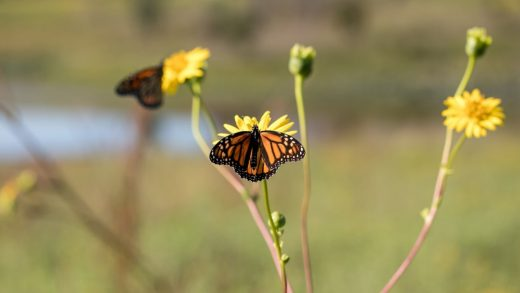 Big agriculture helped destroy monarch butterfly habitats–now it's trying to save them