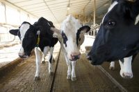 These British cows got access to 5G before most people