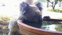 These adorable koala drinking fountains will help them hydrate as Australia heats up