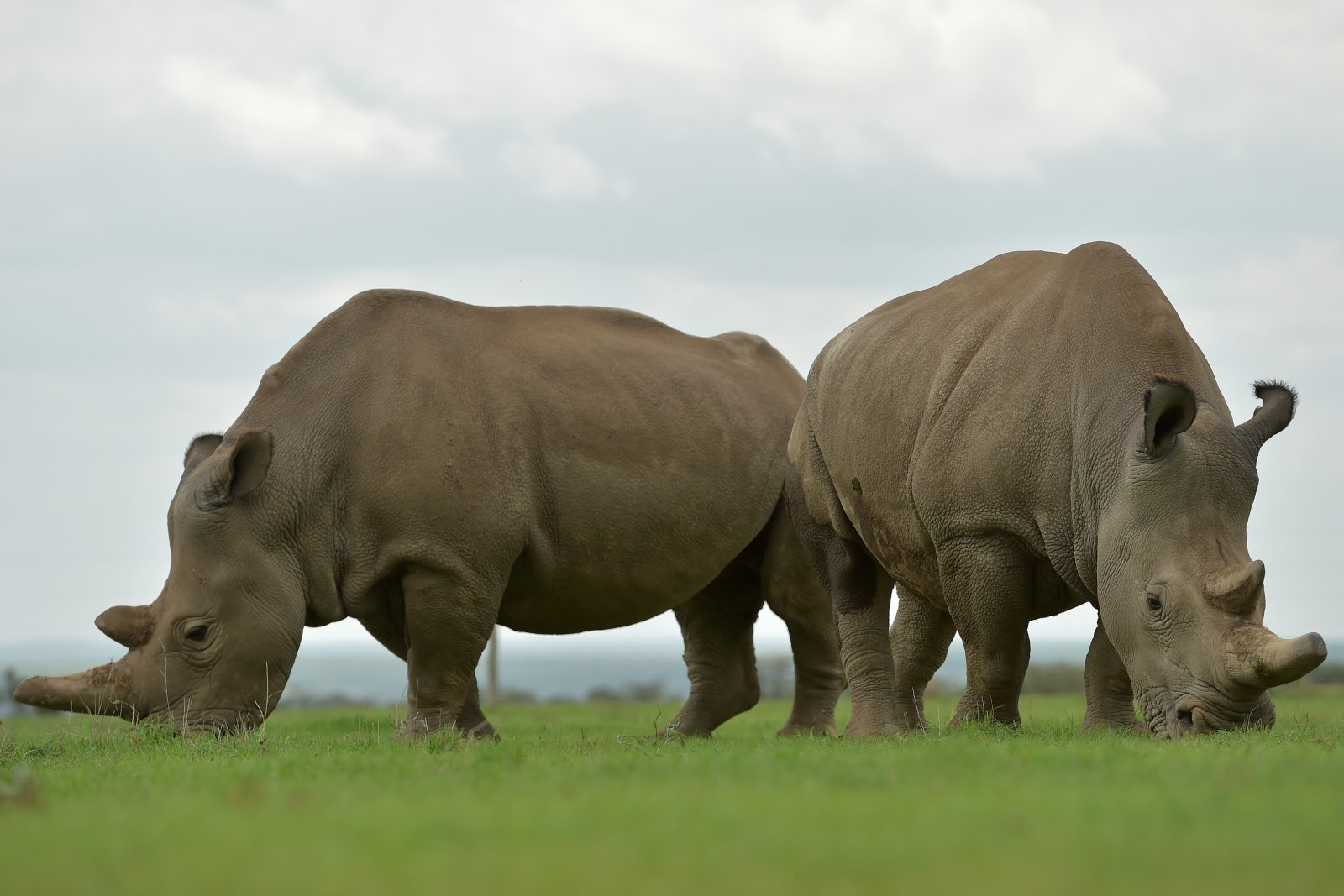 Test tube embryo transfer may give near-extinct rhinos a second chance | DeviceDaily.com