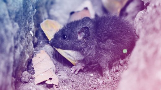 90 dead rats turn up in NYC to help showcase the next frontier in rodent traps
