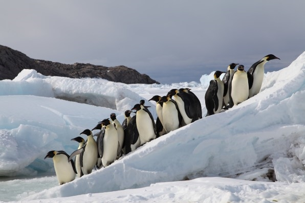 As the ice disappears, climate change is coming for the emperor penguin | DeviceDaily.com