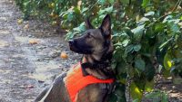 These bacteria-sniffing dogs are protecting your orange juice from a global citrus pandemic