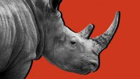 Why the coronavirus crisis is a 'gray rhino' and not a 'black swan'