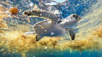 Scientists have uncovered the mystery of where baby green sea turtles spend their 'lost years'