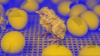 This genetic tech could help save billions of baby chickens from unnecessary death