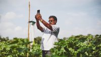 Google is helping deploy AI to prevent pests devastating Indian crops