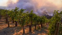 How California's wineries are battling to recover from COVID and fire