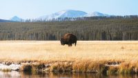 How the warming climate is threatening the ecosystem of Yellowstone