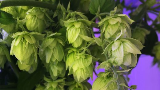 The hops in this new craft beer were grown in an indoor farm